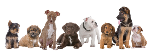 puppy-training-classes-elanora-heights
