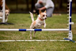 Small dog jumping agility gate